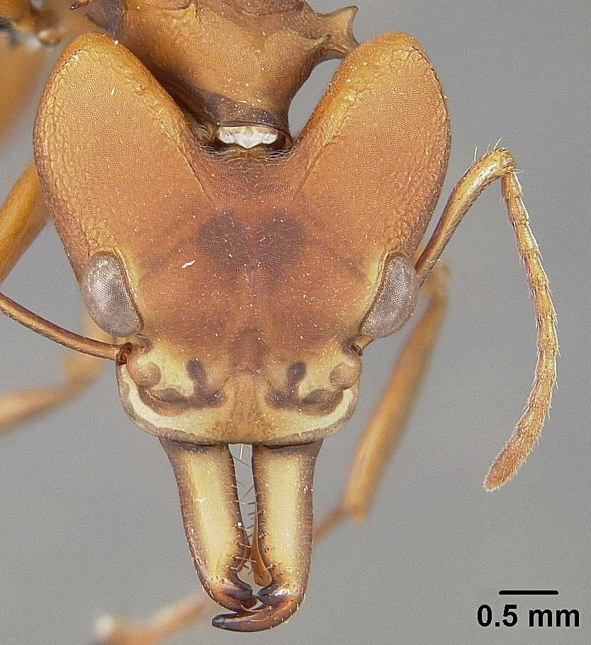 Daceton armigerum  is another trap-jaw ant, with sensitive hairs that trigger the ant to snap its mandibles shut.
