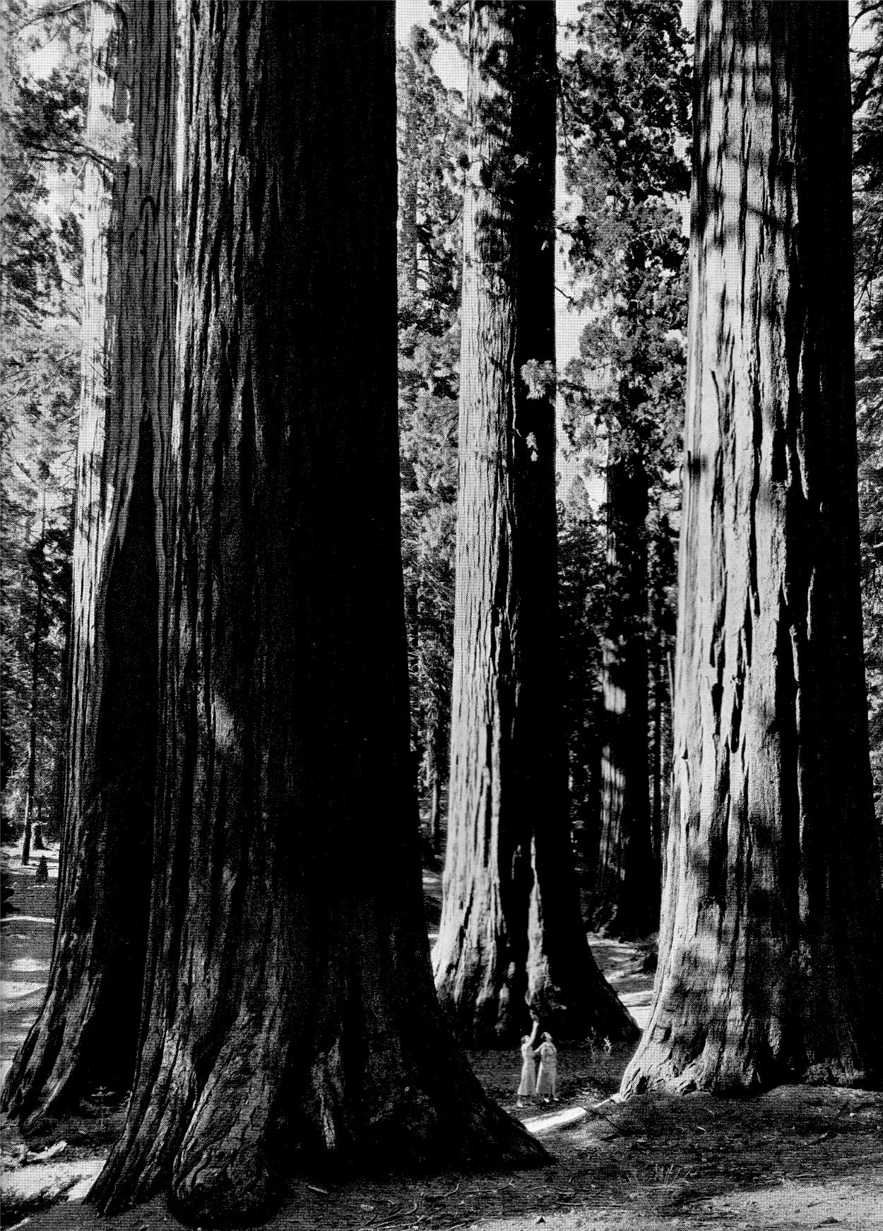 """The Mariposa Grove of Big Trees in Yosemite, by Ansel Adams, from his 1938 essay,  """"The Four Seasons in Yosemite National Park"""" . Adams used his photographs to help establish Sequoia and Kings Canyon National Parks."""
