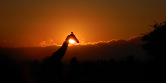 A giraffe on the move at sunset, Kruger National Park, South Africa.