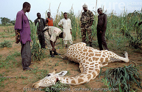 An anti-poaching unit investigates a giraffe carcass in Niger. Image by  Cristophe Corteau .