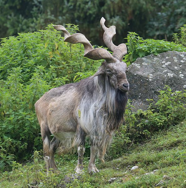 The markhor is a wild goat species with truly magnificent spiral horns. They're found in the central Asia and Himalayas, and they're Pakistan's   national animal. Image by  Rufus46 .
