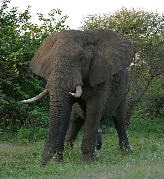 Elephant tusks (which are not horns nor antlers, but rather elongated teeth) are extremely heavy. Image by  Bernard DUPONT .