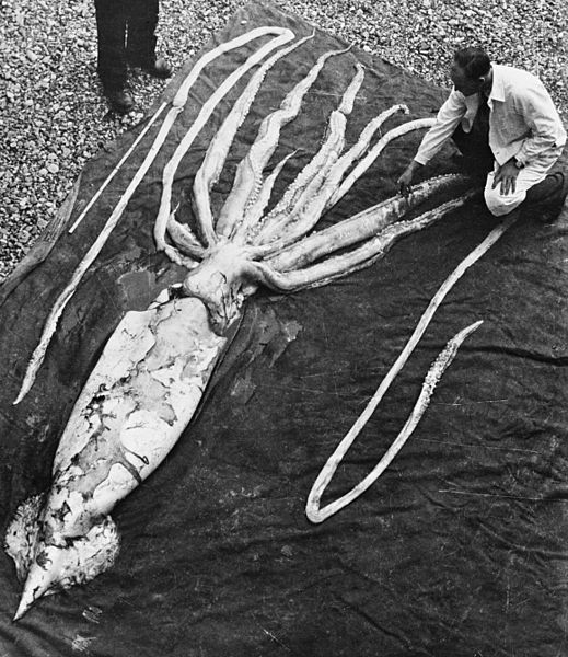 Beached giant squid, 1954. Image from  NTNU .