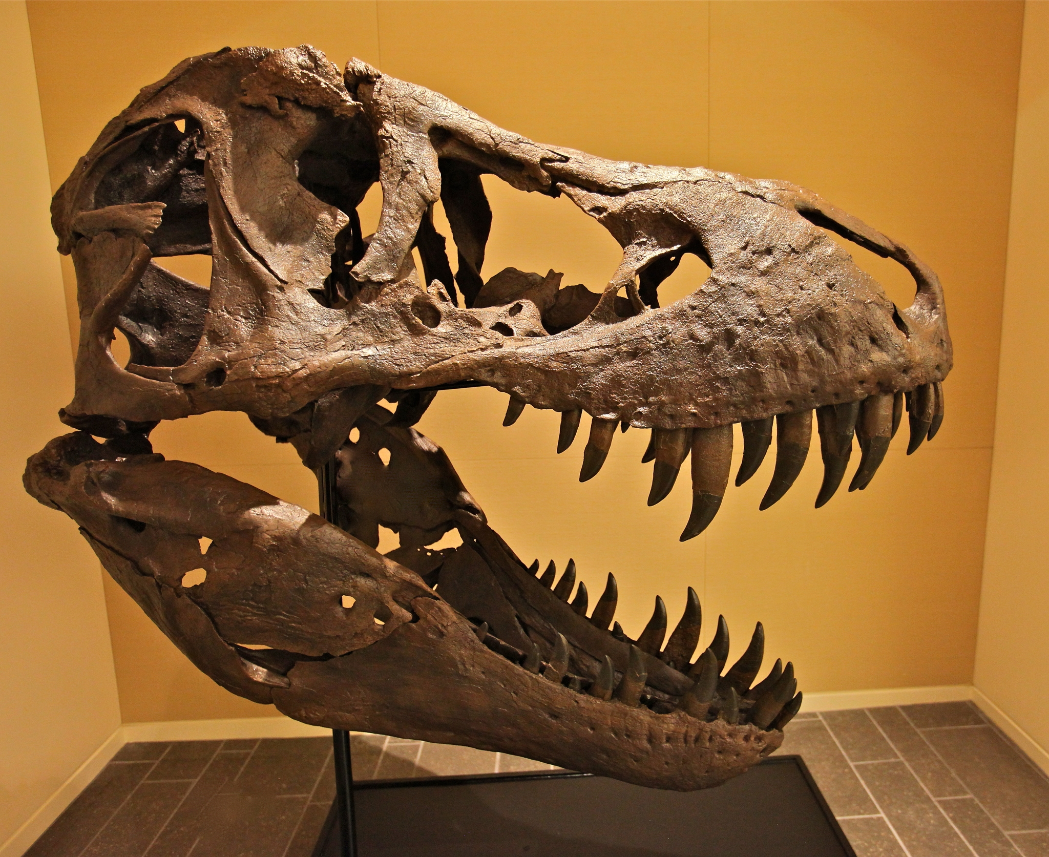 If you had never heard of dinosaurs, it would be easy to mistake this for a dragon skull. Image by  Steve Jurvetson .