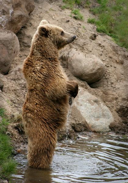 A brown bear standing up, seen from a distance, could be mistaken for Bigfoot by a wishful thinker. Image by  Malene Thyssen .