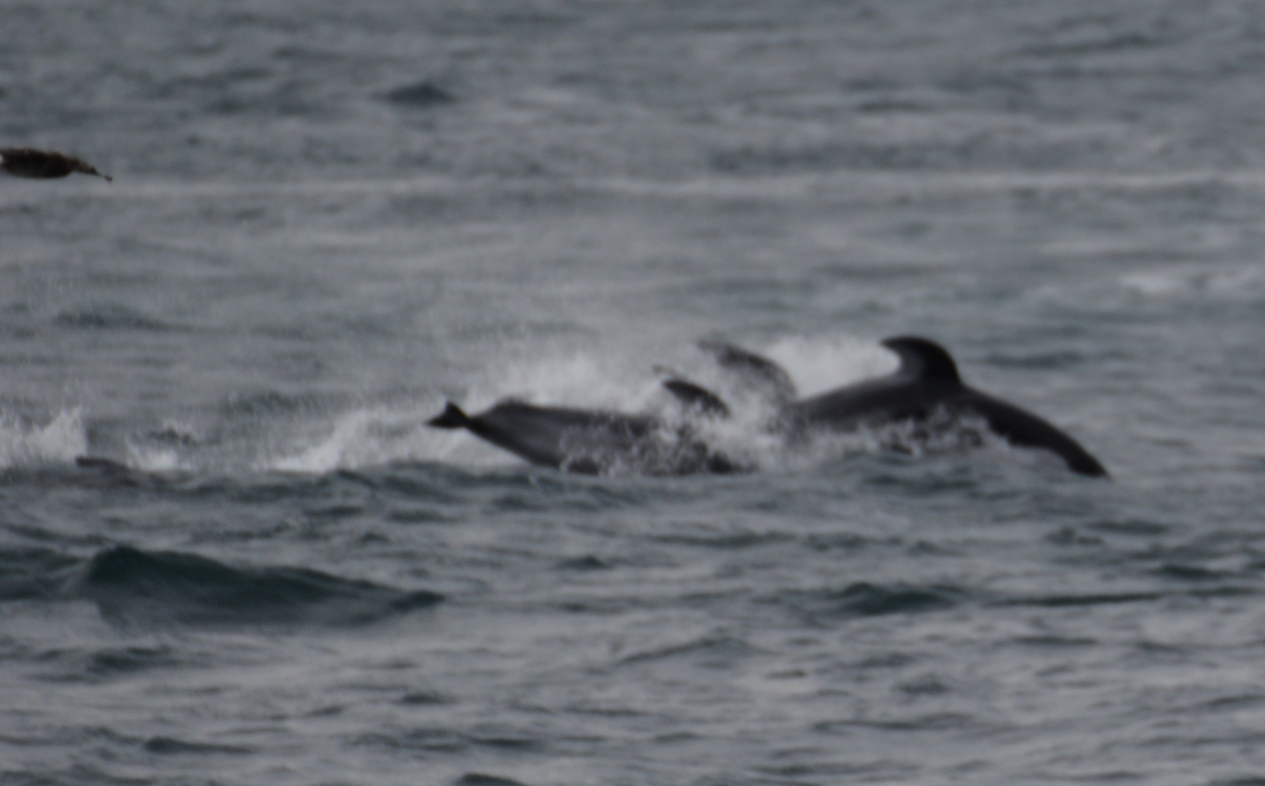 a hurried photo of pacific white sided dolphin as they slide by our boat, sadly no time to get a focused shot.JPG