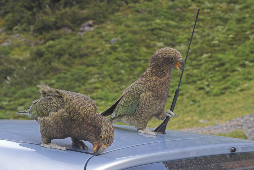 These delightful cheeky buggers were voted Bird of the Year 2017. Image by Beppie K., via    Cartalk   .