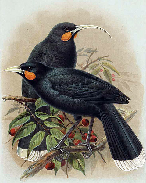 Illustration of the now-extinct huia (male and female), by JG Keulemans, from WL Buller's  Birds of New Zealand , 1888.