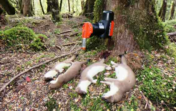 Dead stoats next to a DOC trap. Stoats are one of the major predators wiping out NZ birds. Image via    DOC   .
