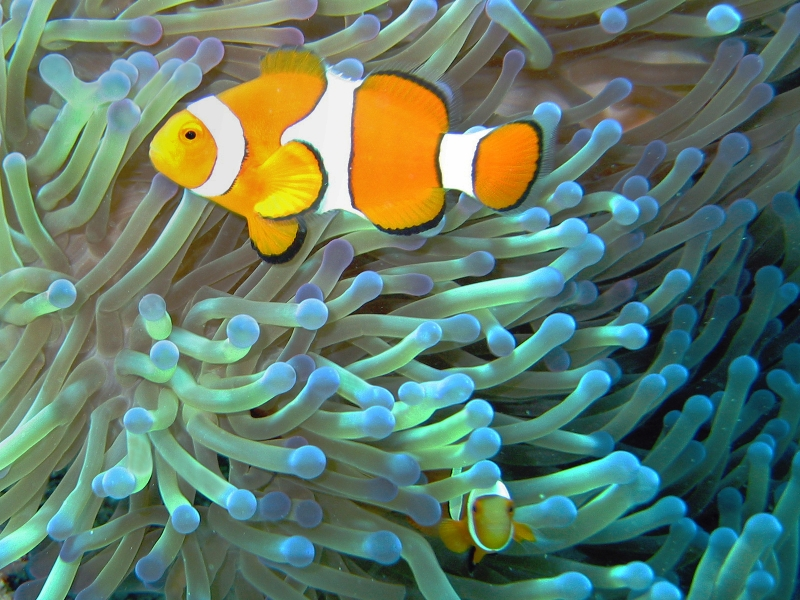 Both the clownfish and the anemone benefit from their relationship. Image by    Jan Derk   .