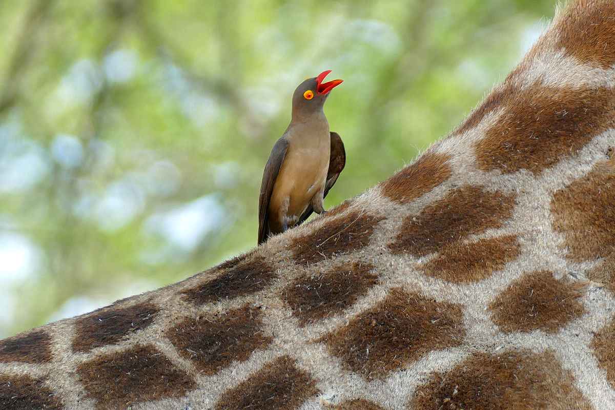 A red billed oxpecker perched on a giraffe. Image by    Bernard DUPONT   .