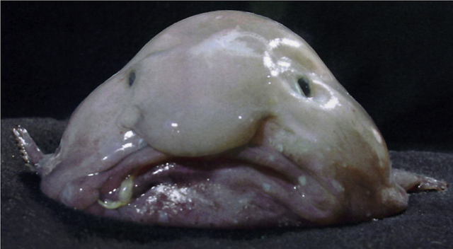 A blobfish brought to the surface. Image from    James Joel   .