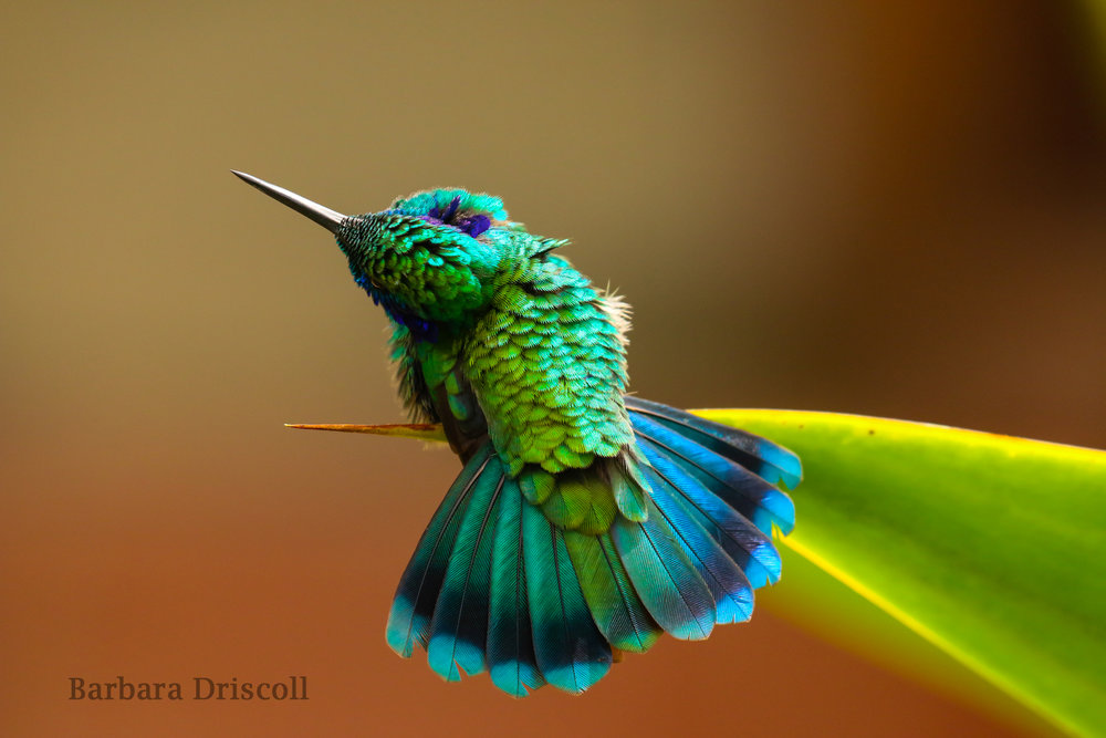Green violetear hummingbird by    Barbara Driscoll,    winner of the Fine Arts category in the Audubon Photography Awards 2016.