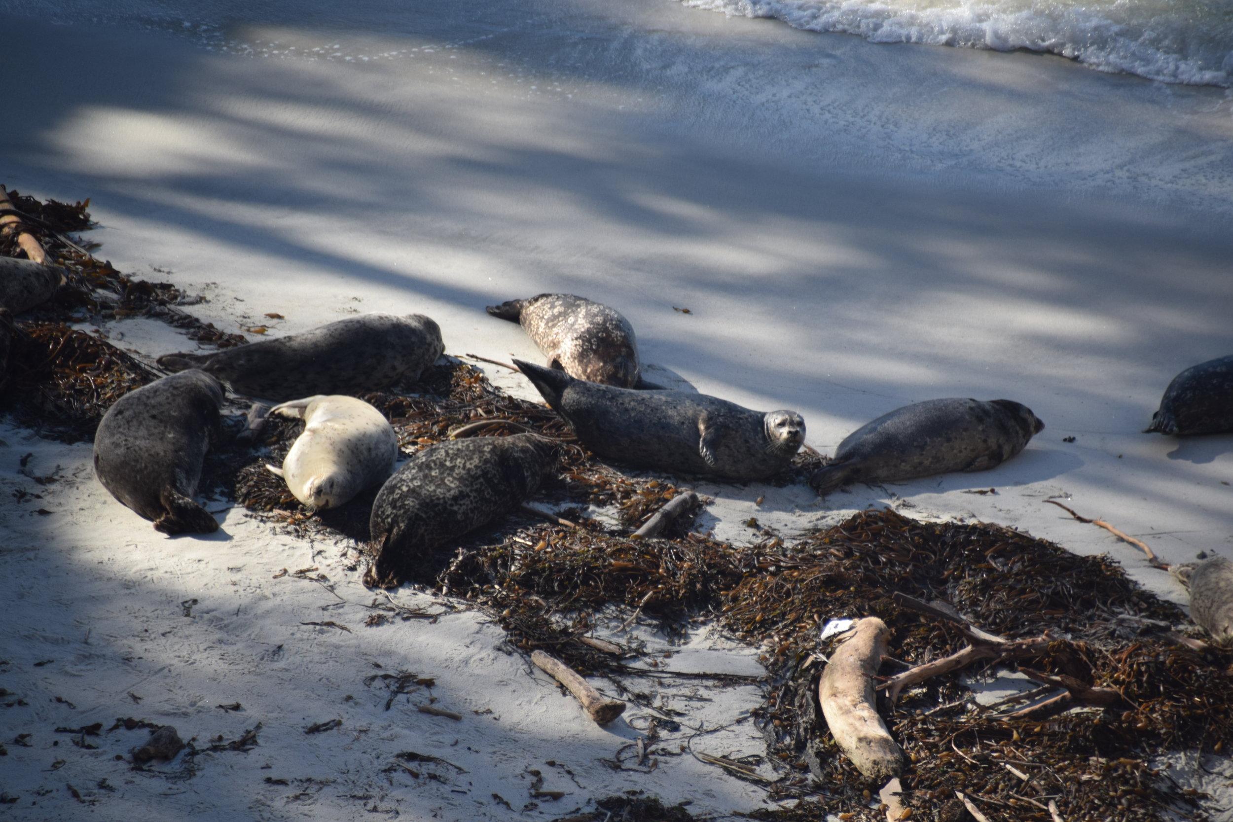 Harbor seals enjoy patchy sunlight at Point Lobos.