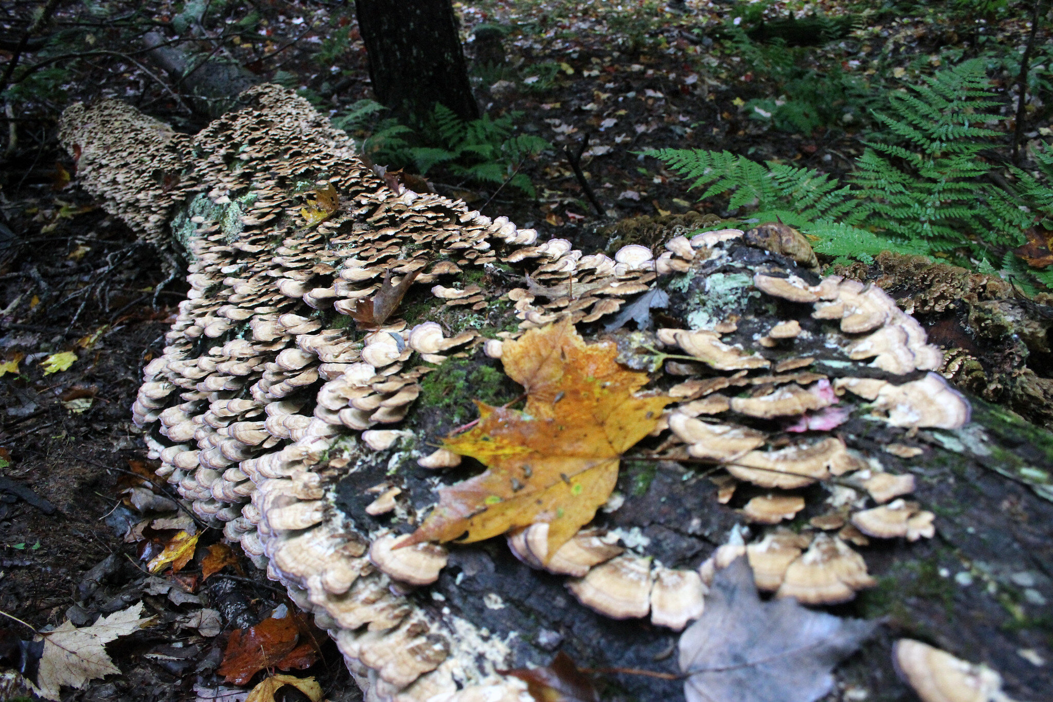 These shelf fungi are decomposing a fallen tree and turning it into mulch and soil. Image by Courtney Celley, via USFWS.