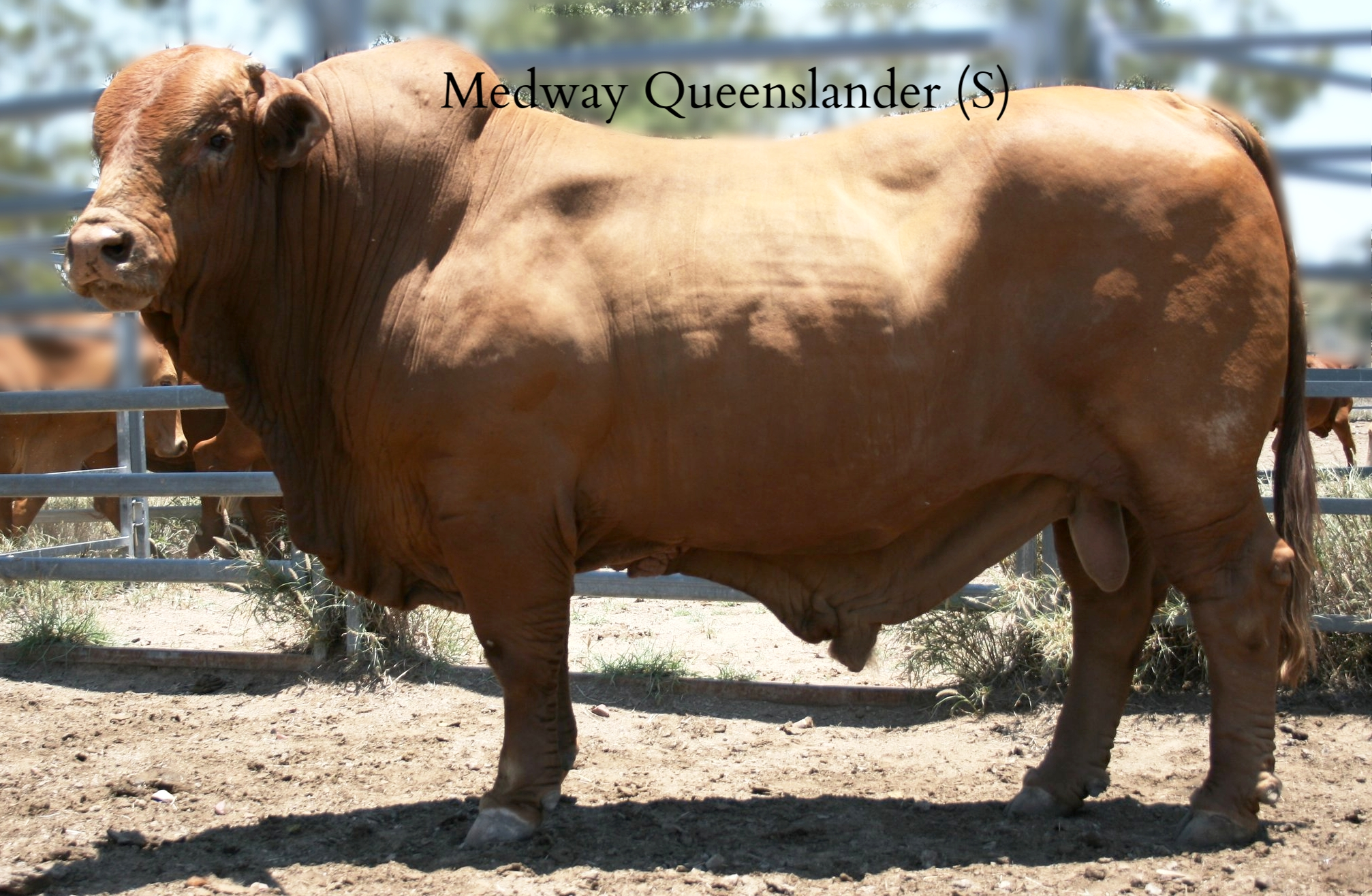 Medway Queenslander   is a home bred retained sire, who has been beyond a herd improver. The Donaldson family can not get enough of his genetics, retaining six of his sons over the past five years to breed on. The easy-doing ability, weight for age, heavy framed bone, natural muscling and temperament are just a few of the compositional values Medway appreciates about this sire.