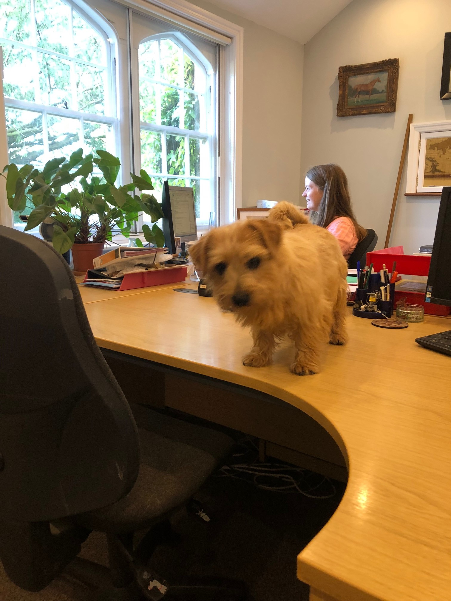Toffee – office dog – not coping with Julie having a day off