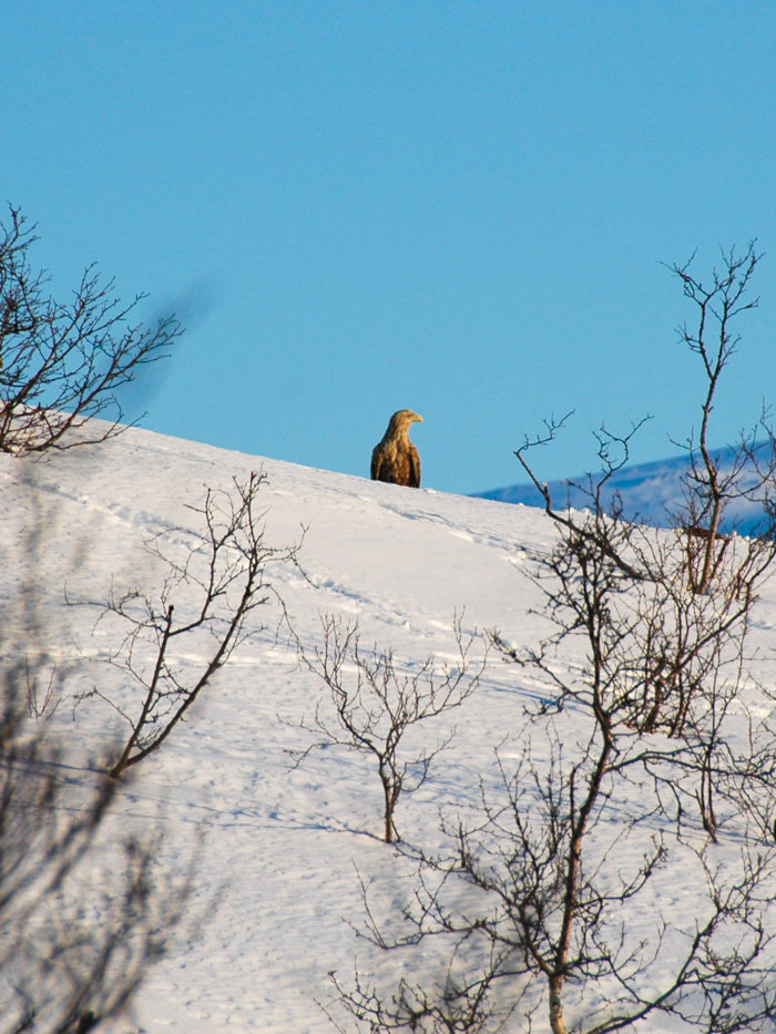 An enormous Golden Eagle perches in the snowy wilderness. Photo: Tove Kockum