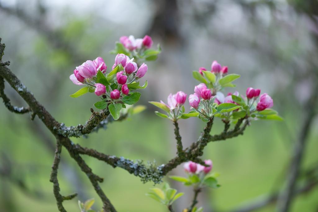 Fleurs de pommiers.jpg