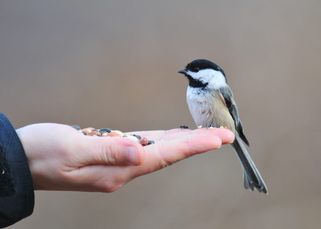 2013-04-16_jeff-moser-and-jeanette-dillon_black-capped-chickadee-on-hand.jpg