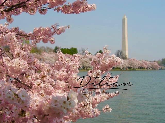 Cherry Blossoms-Washington Monument