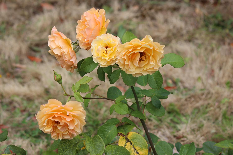 RosesGROW-story.jpg