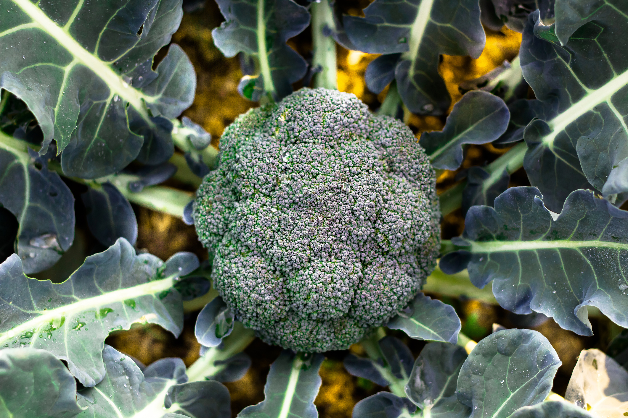 GettyImages-637096272-broccoli.jpg