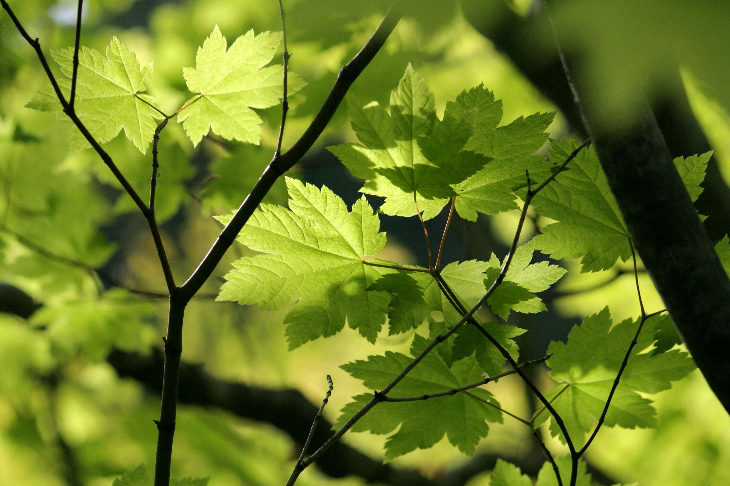 Vine Maple.jpg
