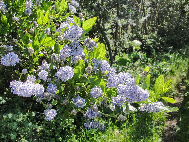Blue_blossom_ceanothus_(Ceanothus_thyrsiflorus)_on_Point_Reyes_Fire_Lane_Trail.jpg