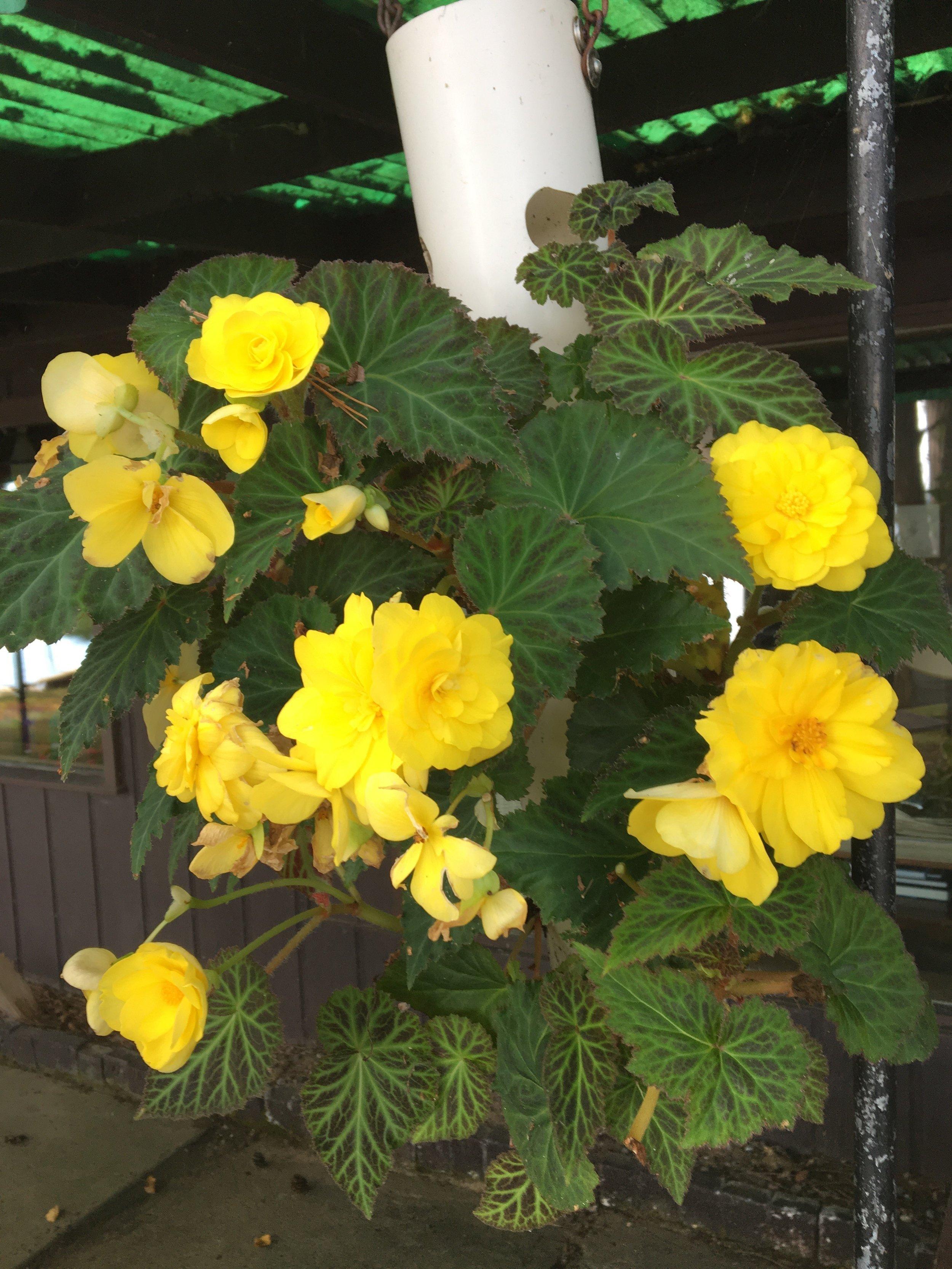 Karen - Begonias.jpg