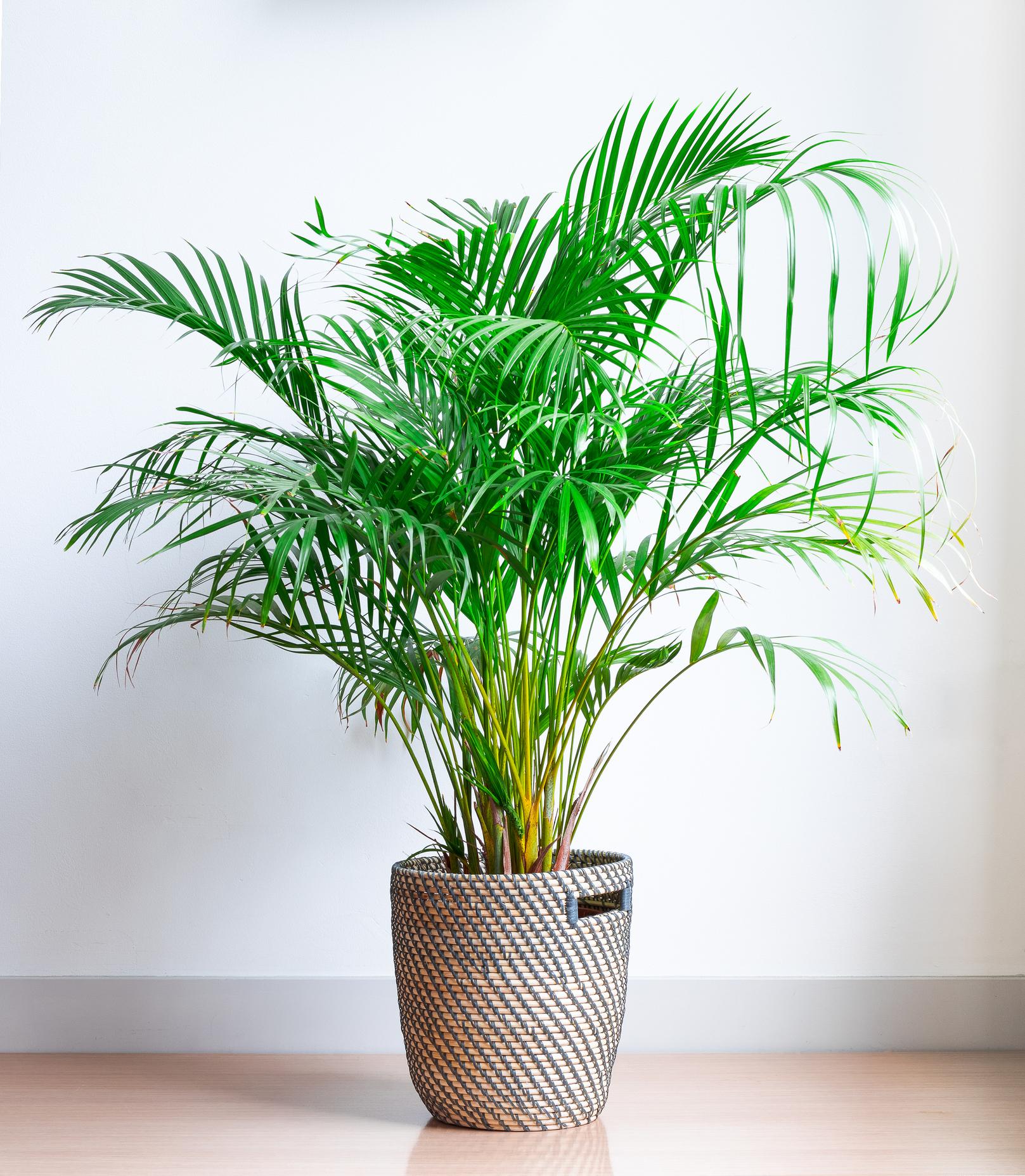 Bedroom Parlor Palm.jpg
