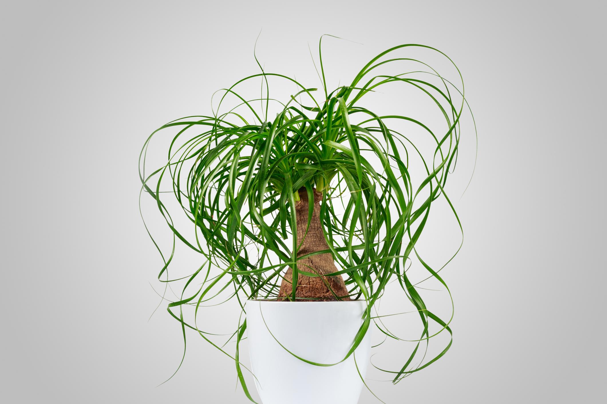Office - Ponytail Palm.jpg