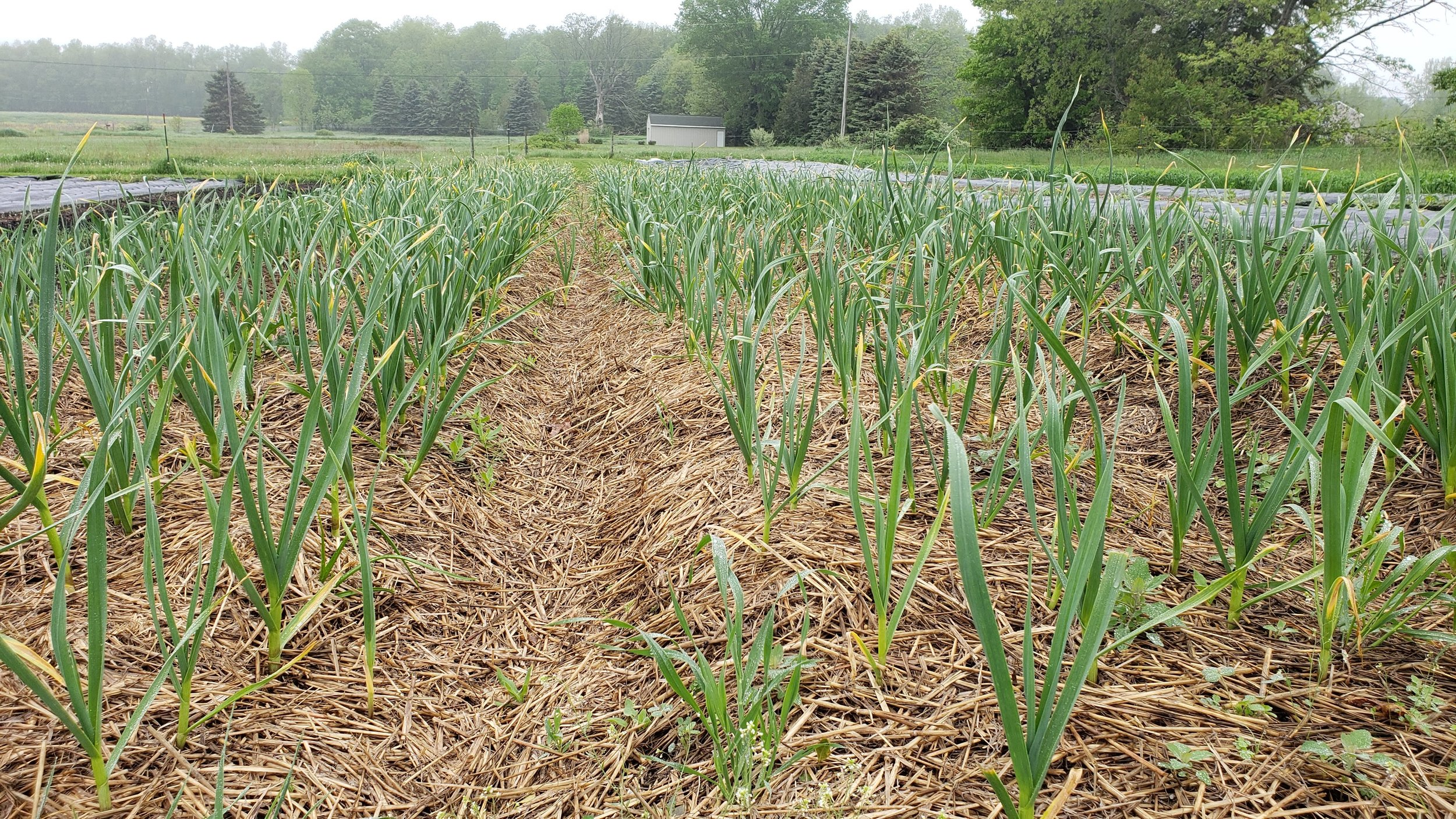 Garlic planted in October almost ready for harvest by May