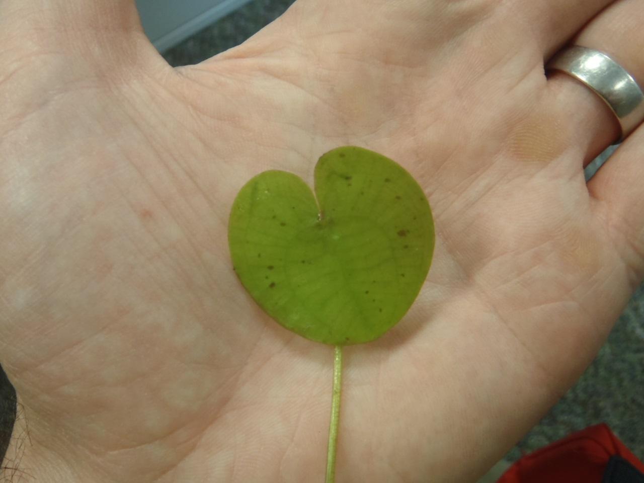 Frogbit leaf.jpg