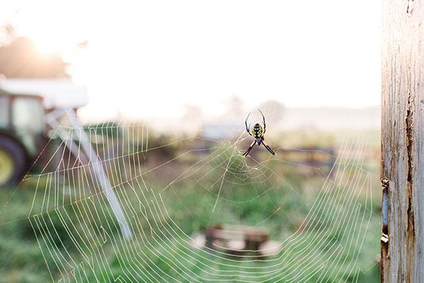 spider building web at sunrise - Sarah Der