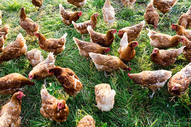 local free range chickens richmond, virginia - Sarah Der