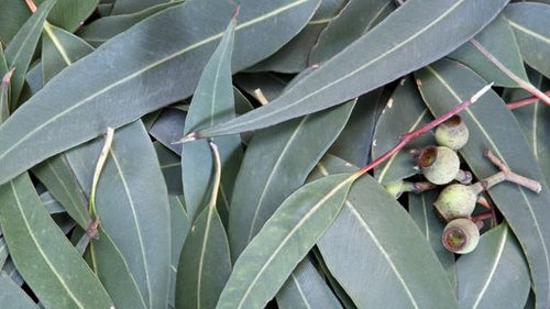 Freshly harvested eucalyptus leaves at Gahara site   (Kirehe, Rwanda)