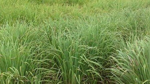 Lemongrass field at Gahara site   (Kirehe, Rwanda)
