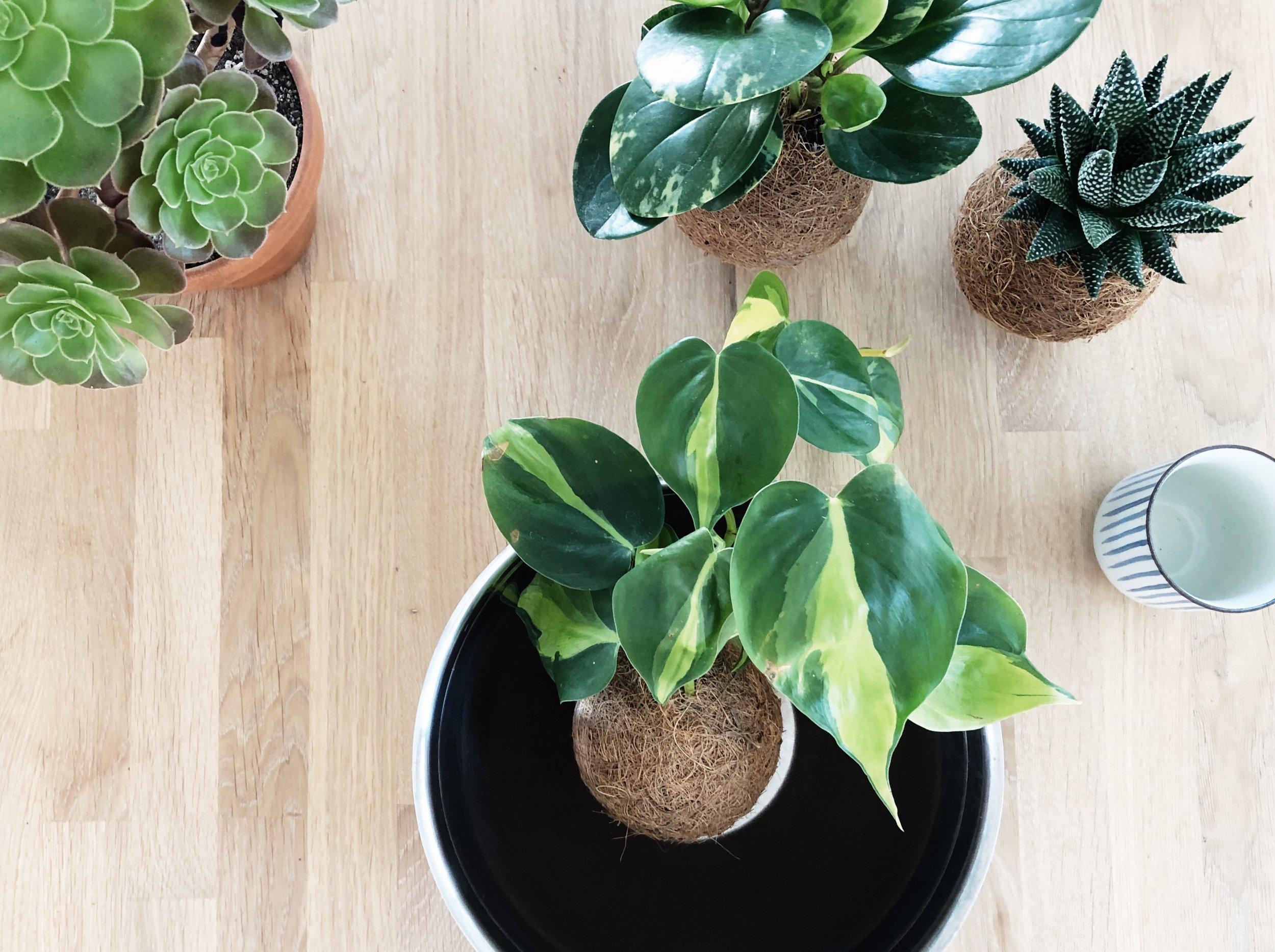 Schritt 1 - Lege Deinen Pflanzenbommel in eine ausreichend große Schale.