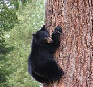 bear in tree.jpg