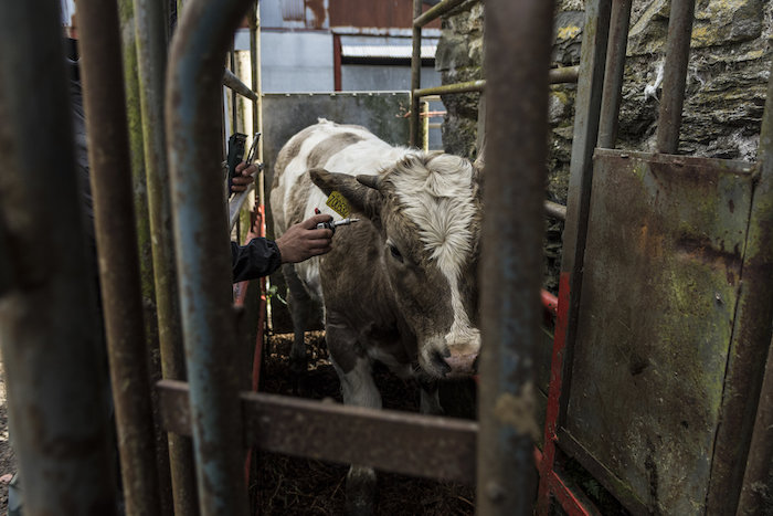 Testing the cattle for TB (Tuberculosis)