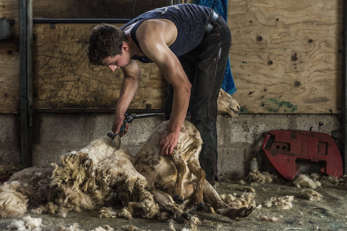 A young sheerer removing the fleece off the ewe in one piece, while also causing no harm to the sheep.