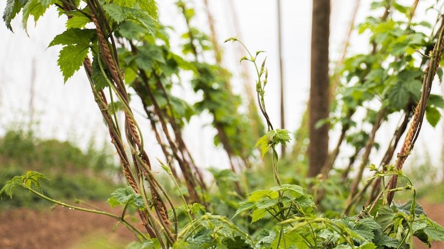 Hop%2BTerroir%2BColeman%2BAgriculture.jpg