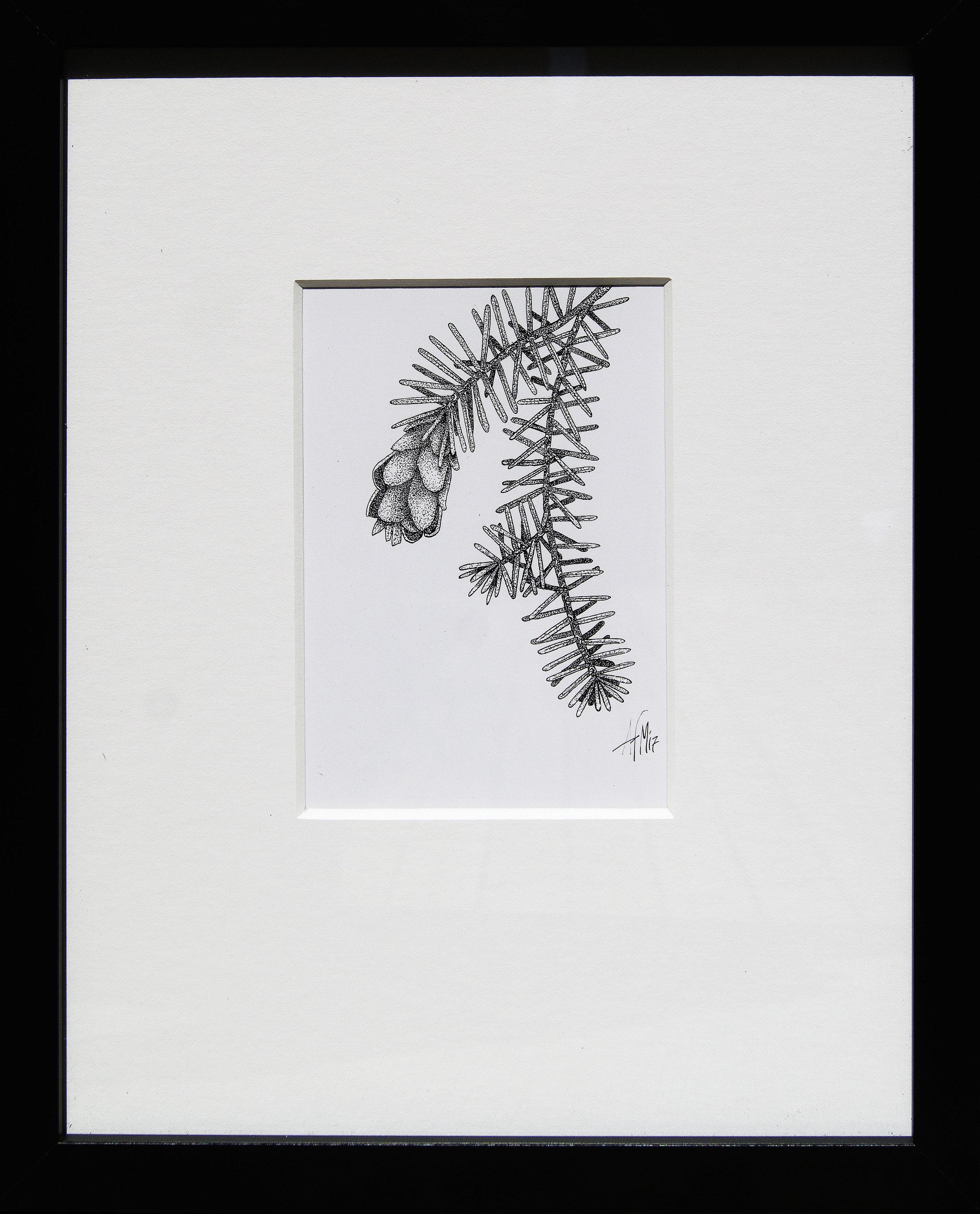 Tsuga heterophylla