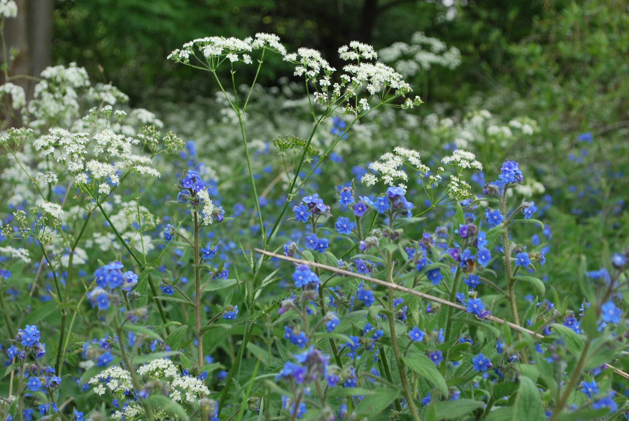 blue white flowers fine petals field.jpg