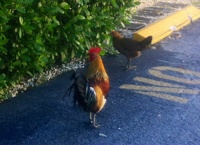 Chickens at a grocery store lot.