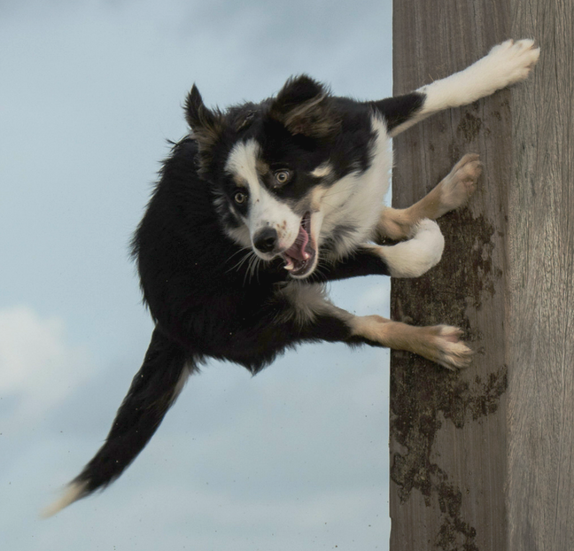Many bored or anxious dogs begin to bounce off your walls!