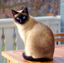 WT Cat Siamese.png