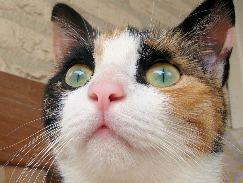 WT Cat calico.png