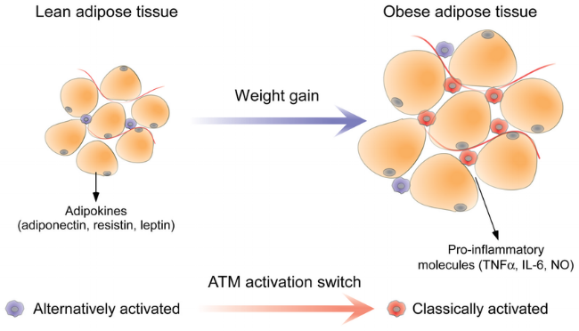 Functional-differences-between-lean-and-obese-adipose-tissue.png